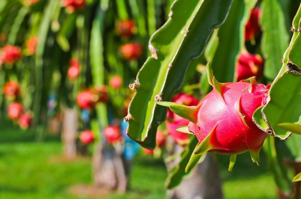 Thanh long là mặt hàng nông sản thường được xuất khẩu sang Trung Quốc