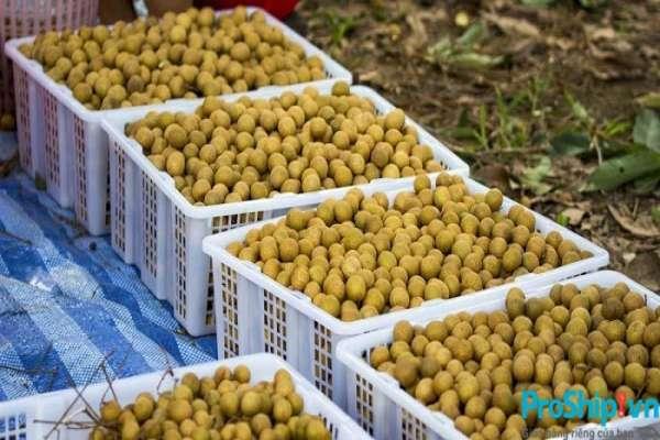 Tiêu chuẩn xuất khẩu nhãn Việt Nam được quy định như thế nào?